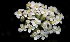 Achillea millefolium L. 31/07/2007