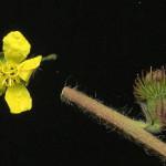 <em>Agrimonia eupatoria</em> L. 20/07/2008