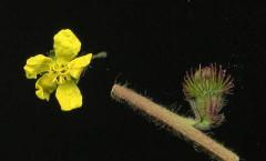 Agrimonia eupatoria L. 20/07/2008