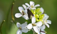Alliaria petiolata L. 17/04/2011