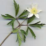 <em>Anemone nemorosa</em> L. 13/04/2009