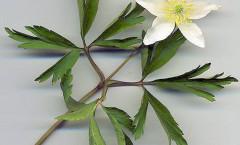 Anemone nemorosa L. 13/04/2009