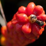 <em>Arum italicum subsp. italicum</em> Mill. 16/08/2010