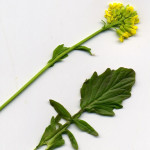 <em>Barbarea vulgaris</em> R Br. 17/04/2011