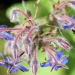 <em>Borago officinalis</em> L. 24/04/2009