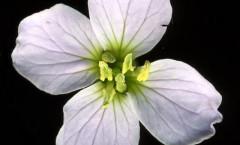 Cardamine pratensis L. 04/04/2008