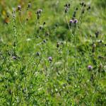 <em>Cirsium arvense</em> (L.) Scop. 29/08/2009