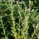 <em>Cirsium vulgare</em> (Savi) Ten. 08/08/2010