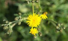 Crepis vesicaria L. 17/04/2011