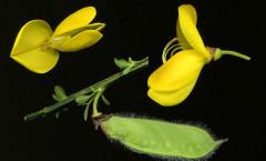 Cytisus scoparius (L.) Link 26/04/2008