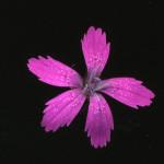 <em>Dianthus armeria</em> L. 22/06/2010