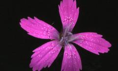 Dianthus armeria L. 22/06/2010
