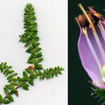 <em>Erica ciliaris</em> Loefl. ex L. 22/09/2007
