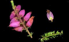 Erica ciliaris Loefl. ex L. 22/09/2007