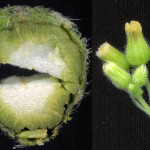 <em>Erigeron sumatrensis</em> Retz. 19/09/2007