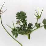 <em>Erodium moschatum</em> (L.) L'Hér. 25/09/2007