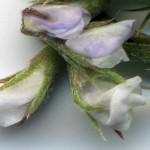 <em>Ervilia hirsuta</em> (L.) Opiz 22/09/2007