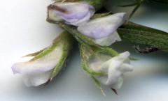 Ervilia hirsuta (L.) Opiz 22/09/2007