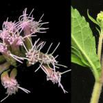<em>Eupatorium cannabinum</em> Loefl. ex L. 11/09/2007