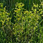 <em>Euphorbia amygdaloides</em> Loefl. ex L. 30/04/2010