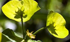 Euphorbia amygdaloides Loefl. ex L. 30/04/2010