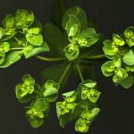 <em>Euphorbia helioscopia</em> Loefl. ex L. 09/08/2010