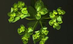 Euphorbia helioscopia Loefl. ex L. 09/08/2010