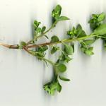 <em>Euphorbia peplus</em> L. 30/07/2008