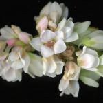 <em>Fagopyrum esculentum</em> L. 01/07/2008