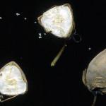 <em>Fagopyrum esculentum</em> L. 18/09/2008