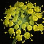 <em>Foeniculum vulgare</em> Mill. 30/07/2008