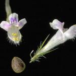 <em>Galeopsis tetrahit</em> L. 23/07/2008