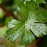 <em>Geranium lucidum</em> L. 13/05/2010