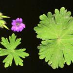 <em>Geranium molle</em> L. 26/04/2008