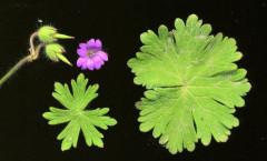 Geranium molle L. 26/04/2008