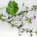 <em>Geranium pyrenaicum</em> Burm.f. 28/08/2007