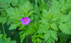 Geranium robertianum L. 18/04/2011