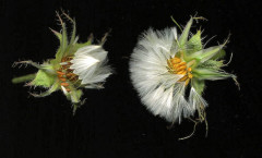 Helminthotheca echioides (L.) Holub 15/08/2007