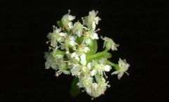 Helosciadium nodiflorum (L) W D.J.Koch