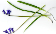 Hyacinthoides non-scripta (L.) Chouard ex Rothm 26/04/2008