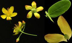 Hypericum pulchrum L. 24/06/2008
