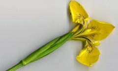 Iris pseudacorus L. 08/05/2008