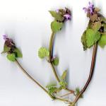 <em>Lamium purpureum</em> L. 02/04/2004