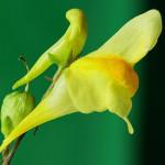 <em>Linaria vulgaris</em> Mill. 26/08/2009
