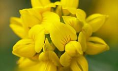 Lotus pedunculatus Cav. 30/06/2009