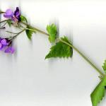 <em>Lunaria annua</em> L. 25/04/2008