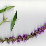 <em>Lythrum salicaria</em> L. 31/07/2007