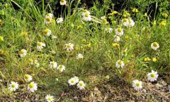 Tripleurospermum inodorum  (L.) Sch.Bip. 26/08/2007