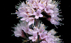 Mentha aquatica L. 07/09/2007
