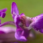 <em>Orchis mascula</em> (L.) L. 25/04/2008